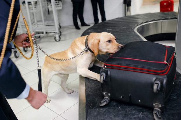 Wybitnie czuły psi węch pozwala na wykorzystywanie czworonogów do poszukiwania narkotyków i substancji niebezpiecznych, np. na lotniskach.