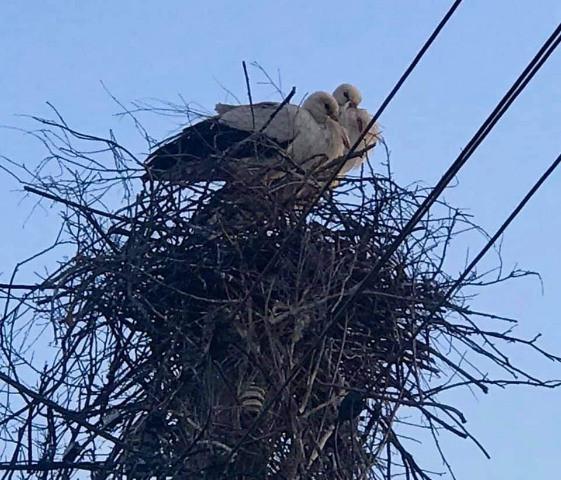 Para bocianów gniazdujących na słupie energetycznym przy ul. Otomińskiej w Kiełpinie Górnym jest od lat lokalną atrakcją wśród okolicznych mieszkańców.