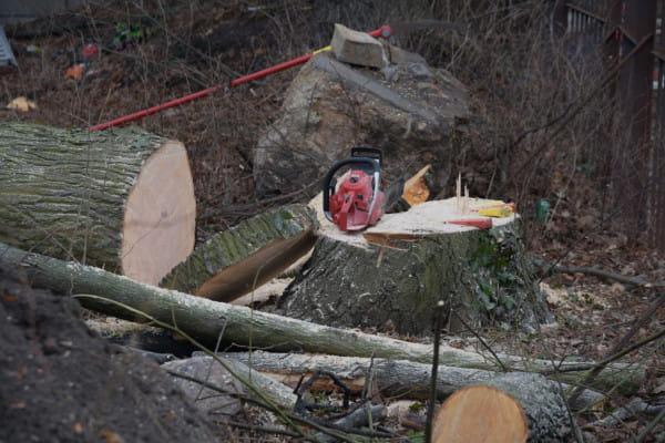 Wycinki 10 stuletnich drzew dokonano w sobotę.
