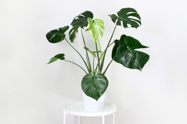 Monstera, czyli roślina o dużych popękanych liściach od kilku sezonów jest najpopularniejszym dodatkiem w domach.