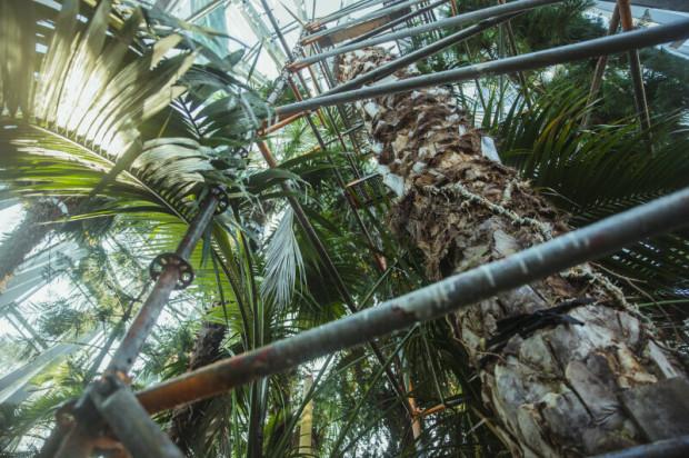 W połowie marca poinformowano, że daktylowiec z Parku Oliwskiego obumiera. Nadal trwa walka o uratowanie drzewa.