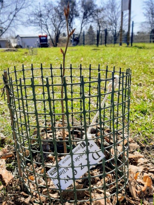 Jeden z 12 małych buków, zasadzonych 7 kwietnia przy ul. Modrej na Olszynce.
