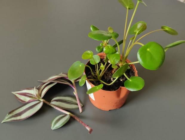 Ostatnio jest zwiększony popyt na zakup roślin. Dodatkowo wiosenne dni aż zachęcają do prac w ogrodzie czy przy przesadzaniu roślin domowych.