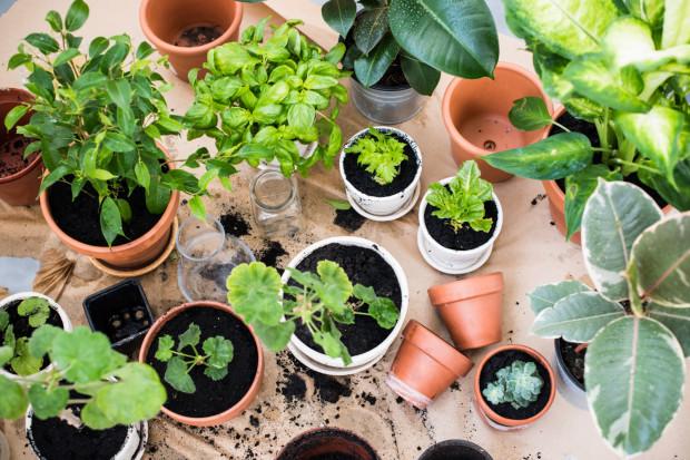 Wiosna to czas sadzenia roślin. Czemu nie spróbować zakupić ich w okazyjnych cenach od innych miłośników roślin? Aplikacja z korzeniami w Trójmieście to umożliwia.