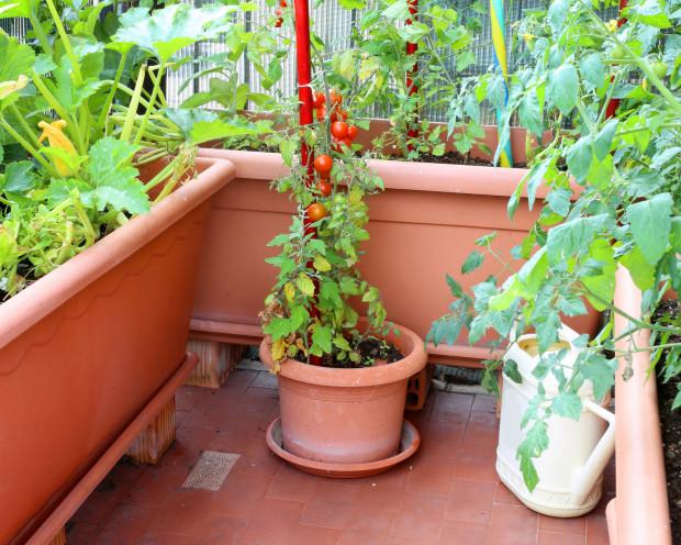 Pomidory z powodzeniem można uprawiać w doniczkach na balkonie, jednak pamiętajmy, że plon z takich roślin nigdy nie będzie tak duży jak z pomidorów uprawianych w gruncie.