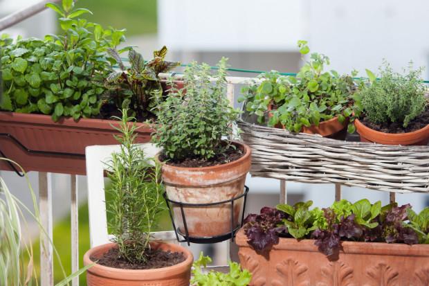 Uprawiając warzywa na balkonie w towarzystwie ziół, wykorzystujemy tzw. dobre sąsiedztwo roślin. Pewne zioła mogą dobroczynnie wpłynąć na wzrost warzyw oraz odstraszać szkodniki.