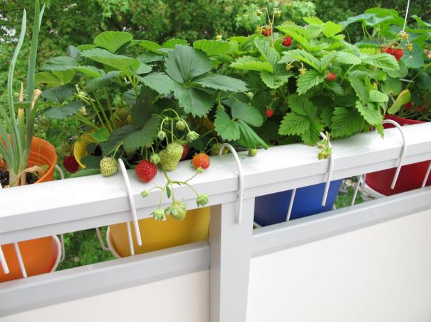 Uprawa truskawek na balkonie jest doskonałym wyborem dla wszystkich, którzy nie dysponują własnym ogrodem, ale chcieliby cieszyć się zdrowymi, ekologicznymi owocami.