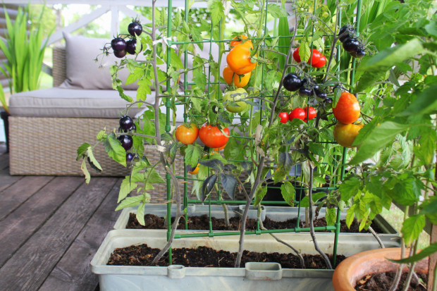 Uprawa warzyw na balkonie to doskonałe rozwiązanie dla mieszkańców miast, którzy nie posiadają własnego ogrodu. Uprawiając taki balkonowy ogródek, mamy pod ręką nieco świeżej i ekologicznej żywności, o znanym pochodzeniu.