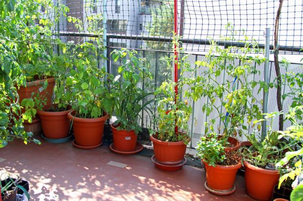 W małych doniczkach na balkonie możemy hodować m.in. szczypiorek, sałatę, rukolę, rzodkiewkę, pietruszkę naciową, cykorię, a także zioła.