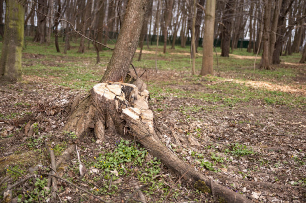 """Radni mówią o """"rzezi drzew"""" na Westerplatte. Prowadzący tam prace odpierają zarzuty i tłumaczą, że wycięli drzewa suche i zamierające."""