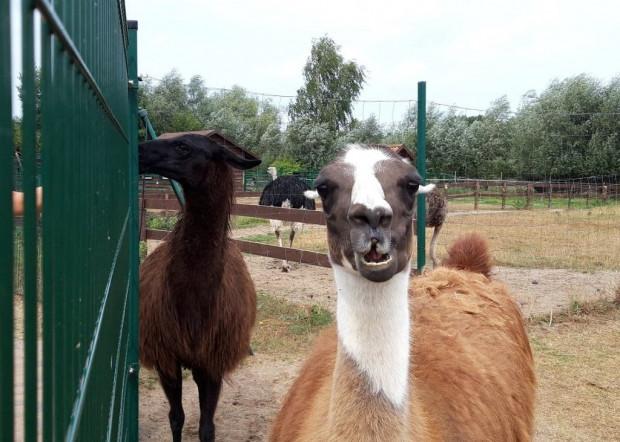 Najmłodsi goście odwiedzający minizoo w Jantarze mają możliwość nakarmienia zwierzaków marchewką, którą otrzymują przy okazji zakupu biletu wstępu.