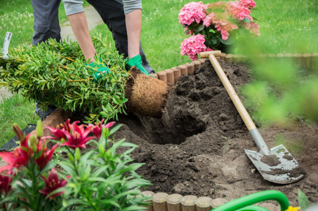 Decyzja o nasadzeniu każdego krzewu powinna być starannie przemyślana - zarówno pod kątem jego przydatności do kompozycji, jak i siły oraz tempa wzrostu.
