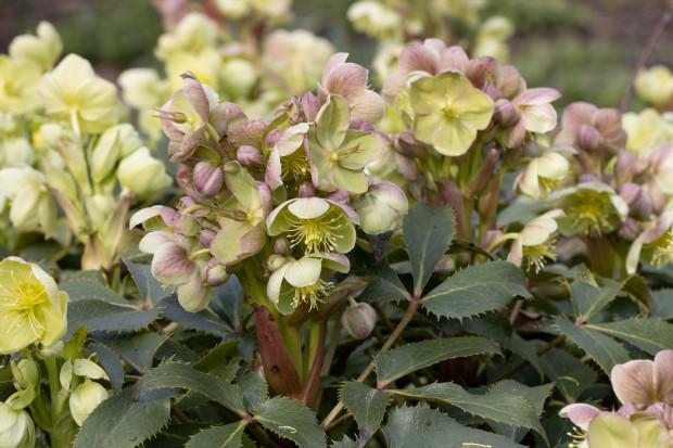 Ciemierniki mają kwiaty w różnych kolorach, dobrze znoszą przesadzanie na każdym etapie swojej wegetacji. Co cenne, ich liście będą zielone także zimą.