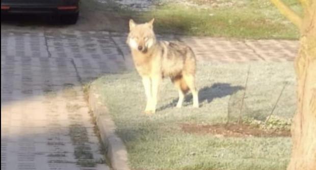 Wilk był widziany na Chwarznie w poniedziałek około godz. 7.