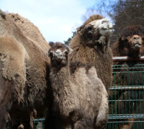 Wielbłądzia rodzina.
