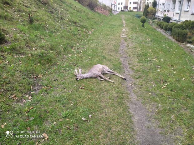 Koziołek - samiec sarny - spadł ze skarpy i doznał urazu.
