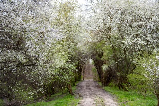 Kwitnący sad miejski w Orłowie.