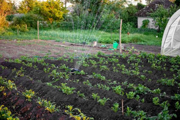 Jeśli ktoś uważa, że podlewanie to najprostsza czynność do wykonania w ogrodzie to jest duża szansa, że zdarzy mu się popełnić kilka błędów. Wszystkie rośliny potrzebują wody, ale każda ma inne potrzeby, w zależności od tego, gdzie i w czym rośnie. Jedna zasada pozostaje niezmienna: lepiej podlewać rzadziej, ale obficiej.