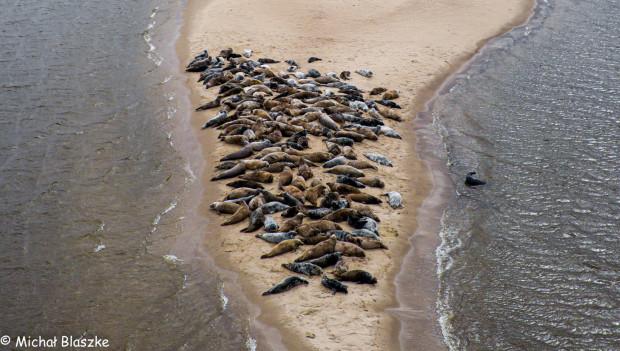 Mewia Łacha na Wyspie Sobieszewskiej to miejsce chętnie odwiedzane przez foki.