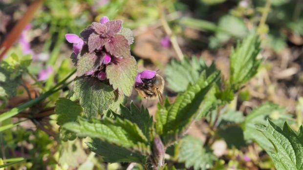 Jasnota purpurowa i zbiór nektaru