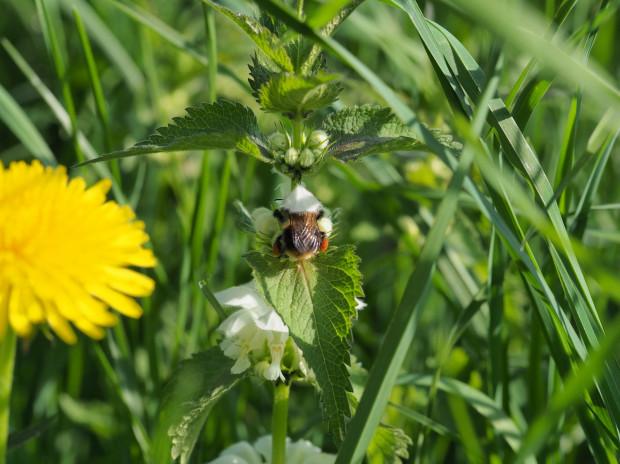 Jasnota biała i mniszek lekarski dzielą się pyłkiem i nektarem z trzmielem