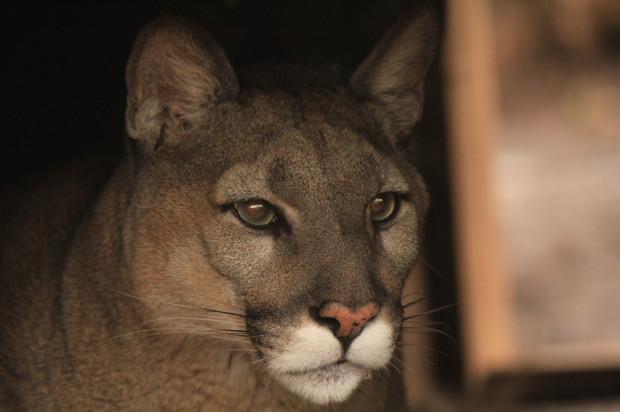 Puma Columbia przeprowadziła się w poniedziałek na Węgry.