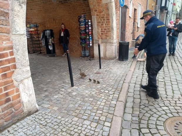 Kaczki w asyście funkcjonariuszy powędrowały bezpiecznie do Motławy.