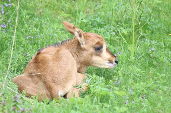Gdańskie zoo powitało na świecie antylopowca szablorogiego. To samczyk.