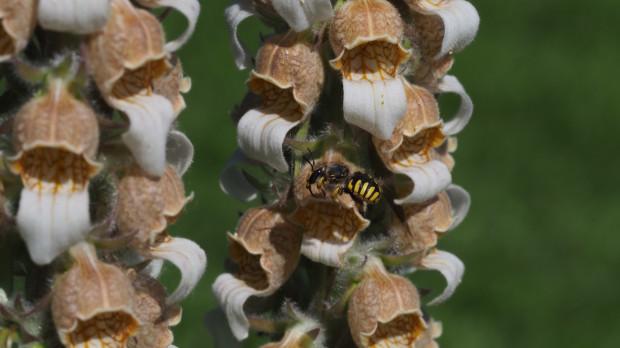 Makatka zbójnica - samiec z charakterystycznymi kolcami na końcu odwłoka