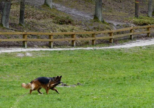 Wypuszczanie psów bez smyczy podczas spacerów po mieście to codzienność - uważają nasi czytelnicy.