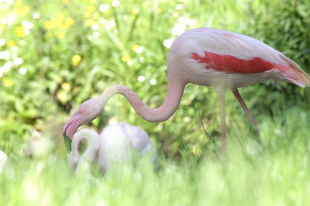 Piękne flamingi wracają na wybieg gdańskiego zoo.