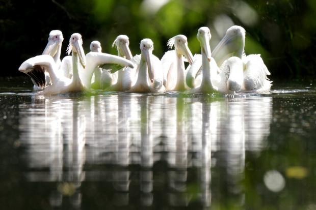 W zoo ponownie będzie można zobaczyć pelikany.