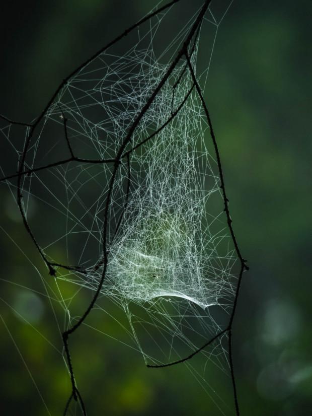 Sieć pająka z rodziny osnuwikowatych - częsty widok w naszych lasach.
