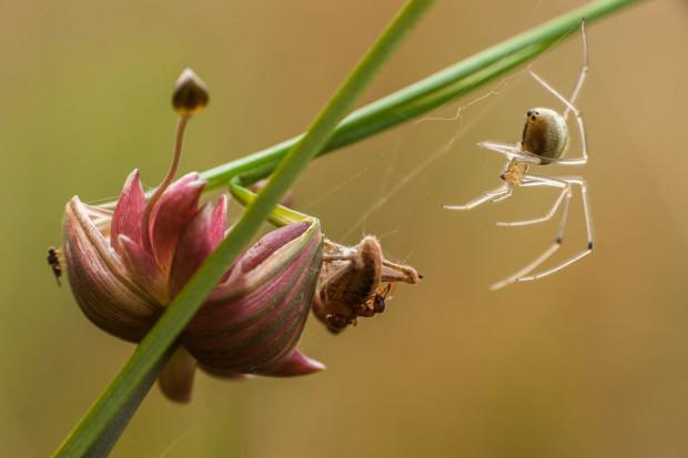 Zawijak żółtawy z rodziny omatnikowatych - jeden z pająków najczęściej wchodzących do odpadów porzuconych w lasach.