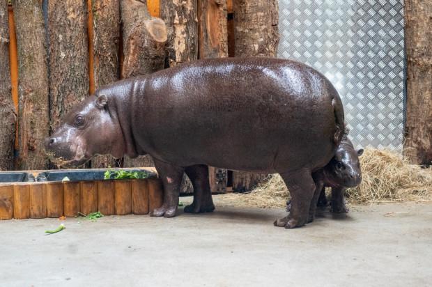 W gdańskim ogrodzie zoologicznym żyją trzy osobniki hipopotamów karłowatych.