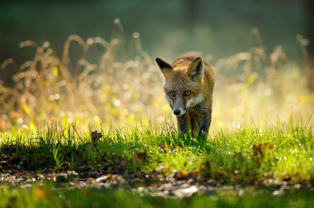 Wydaje się, że lisów w Trójmieście jest coraz więcej i raczej nie boją się ludzi.