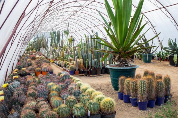 Kolekcja pana Mieczysława liczy 5 tys. roślin. Najwyższe kaktusy mają po 3 metry wysokości i liczą ponad 50 lat.