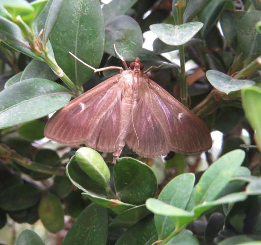 Różne stadia rozwoju ćmy bukszpanowej. Larwa i gąsienica motyla uznawana jest za szkodnika.