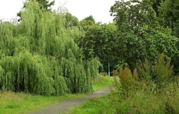 Gdańsk szuka czterech osób, które zajmą się sprawami związanymi z utrzymaniem drzew w mieście.