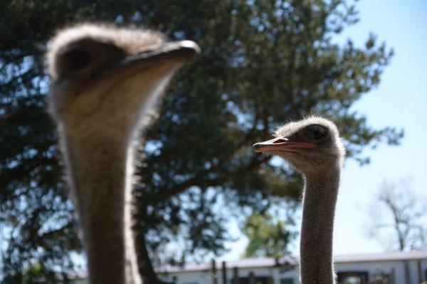 Ponad 40 strusi afrykańskich, a ponadto króliki, lamy, osły, emu i inne zwierzęta - je wszystkie można spotkać na Strusiej Farmie w Kniewie.