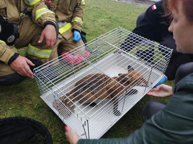 Dzięki sprawnej pomocy policji i straży pożarnej, lis otrzymał specjalistyczną pomoc.