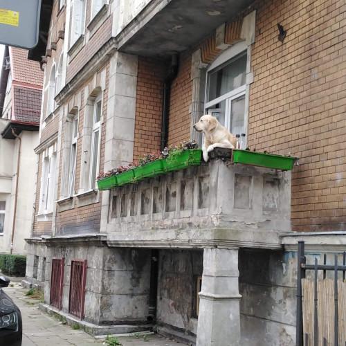 Pies najwyraźniej lubi przesiadywać na balkonie w dość nienaturalnej pozycji.