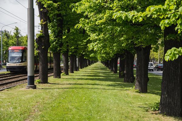 W sumie zostaną zaszczepione 222 drzewa w Wielkiej Alei Lipowej.