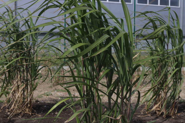 Rośliny wykorzystywane do badań pojawiły się zarówno pod gołym niebem, jak i w szklarniach.