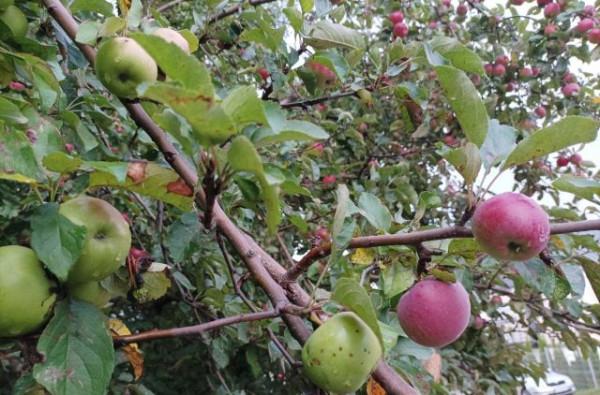 Jabłka rosnące wzdłuż ul. Warszawskiej.