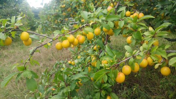 Mirabelki w sadzie w Orłowie już dojrzały.