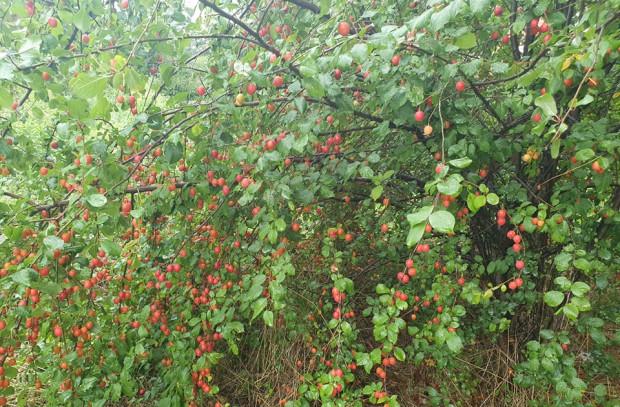 Czerwone mirabelki rosnące od strony ul. Malczewskiego.