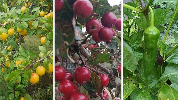 Mirabelki, jabłka, papryka - wszystkie te owoce i warzywa można znaleźć rosnące dziko na terenie Trójmiasta.