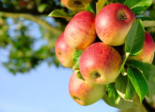 Jabłka okazują się sprzymierzeńcem w walce m.in. z podwyższonym cholesterolem, miażdżycą, cukrzycą czy zaparciami.