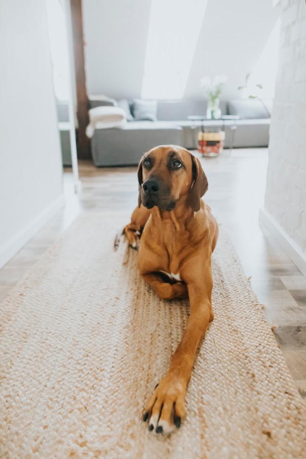 Jednym z mieszkańców jest pies rasy Rhodesian.